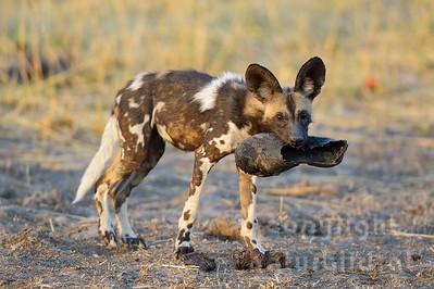 13-Z14-36 - Afrikanischer Wildhund mit Schuh