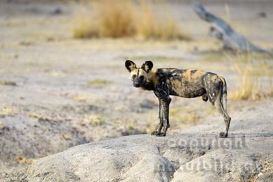 13-Z14-02 - Afrikanischer Wildhund