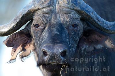 13-Z04-17 - Afrikanischer Büffel - Porträt