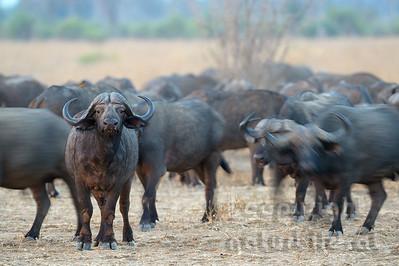 13-Z04-09 - Afrikanischer Büffel - Steppenbüffel