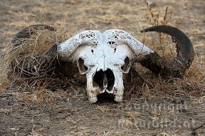 11-Z07-31 - Afrikanischer Büffel - Steppenbüffel