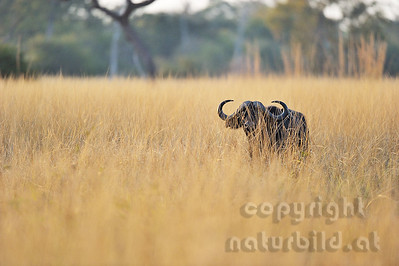 11-Z07-11 - Afrikanischer Büffel - Steppenbüffel