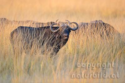 11-Z07-08 - Afrikanischer Büffel - Steppenbüffel