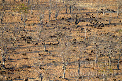 13-Z04-12 - Steppenbüffel Herde