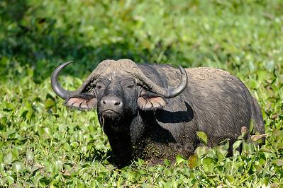 11-Z07-34 - Afrikanischer Büffel - Steppenbüffel