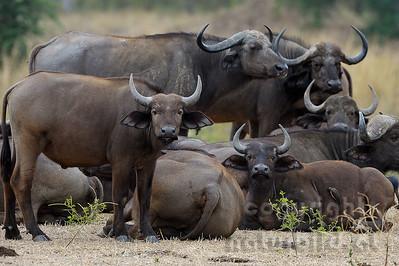 11-Z07-37 - Afrikanischer Büffel - Steppenbüffel