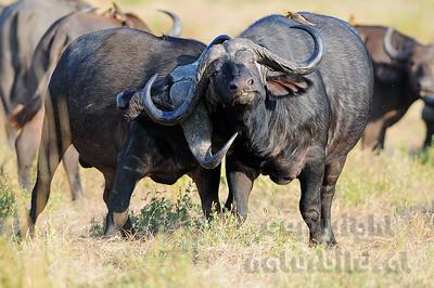 11-Z07-23 - Afrikanischer Büffel - Steppenbüffel