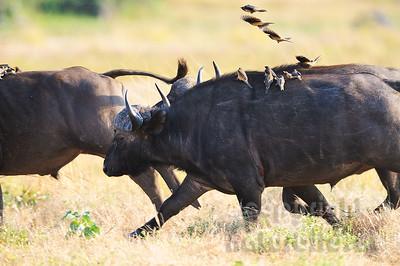 11-Z07-26 - Afrikanischer Büffel - Steppenbüffel