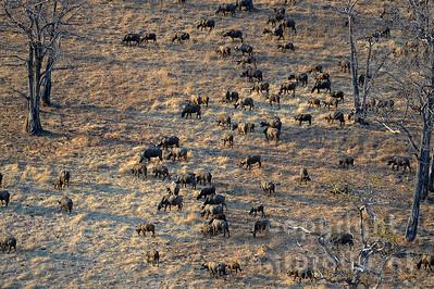 13-Z04-13 - Steppenbüffel Herde