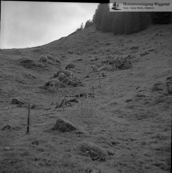 #050190 | Rinder auf der Weide; wo?
