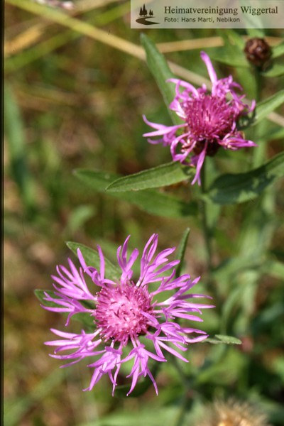 Flora Wiesenflockenblume