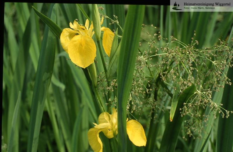 Flora gelbe Schwertlilie u. Waldried