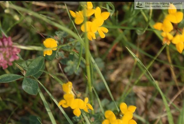 Flora Sumpf-Hornklee