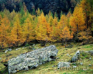 GF-1020 - Junger Lärchenwald im Herbst
