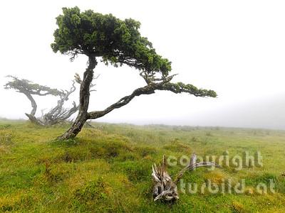 Wacholdererbaum, knorriger Wuchs, Insel Pico, Azoren, Portugal,