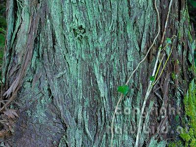 Rinde einer Sicheltanne, Flechten bewachsen, Insel Pico, Azoren, Portugal,