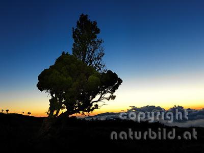 Wacholder, ragt in den Himmel, Abendstimmung, nach Sonnenuntergang, Insel Pico, Azoren, Portugal,