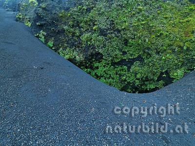 Lavakies, hinten bewachsener Lavafelsen, Insel Pico, Azoren, Portugal,