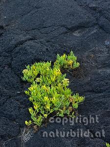 Pionierpflanze, auf schwarzem Vulkangestein, Insel Pico, Azoren, Portugal,
