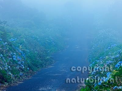 Straße im Nebel, blühende Hortensie am Straßenrand, Insel Pico, Azoren, Portugal,