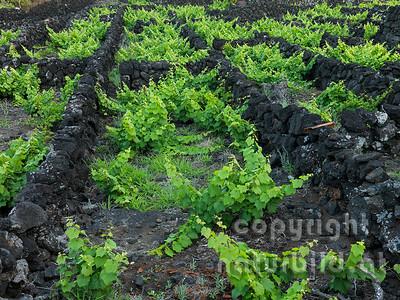 Weingarten, typische Pazellen aus Legesteinen, Insel Pico, Azoren, Portugal,