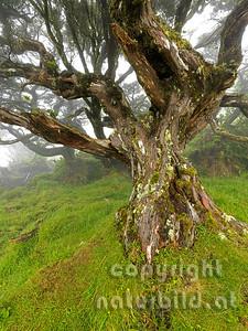 Wacholdererbaum, knorriger alter Stamm, Insel Pico, Azoren, Portugal,