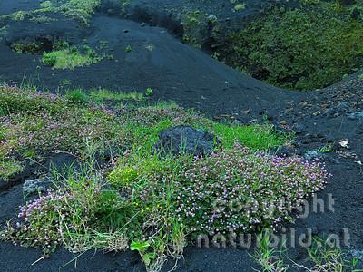 Lavakies, blühende Pionierpflanzen, Insel Pico, Azoren, Portugal,