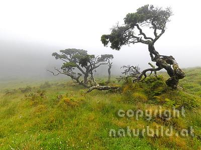 Wacholdererbäume, knorriger alter Stämme, Insel Pico, Azoren, Portugal,