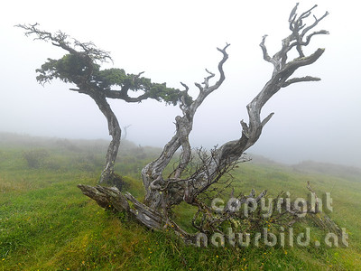 Wacholdererbaum, knorriger alter Stamm, im Nebel, Insel Pico, Azoren, Portugal,