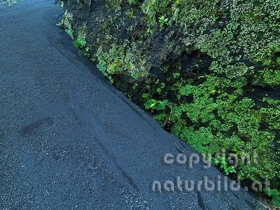 Lavakies, Bewachsener Lavafelsen, Pionierpflanzen, Insel Pico, Azoren, Portugal,