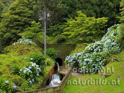 Kanal durch den Kraterrand, blühende Hortensien, Insel Sao Miguel, Azoren, Portugal,