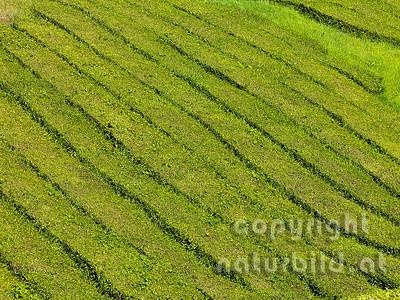 Cha Gorreana, Teeplantage, Nahaufnahme von Pflanzenreihen, Insel Sao Miguel, Azoren, Portugal,