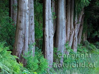 Baumzeile, Sicheltannen, Insel Terceira, Azoren, Portugal,