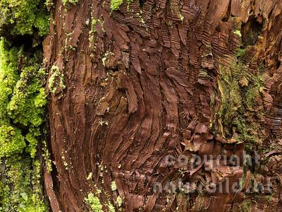 Baumstamm, Detail der Rinde, Misterios Negros, Terceira, Azoren, Portugal,