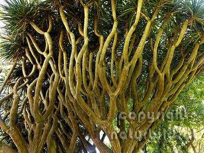 16ATE-1-74 - Drachenbaum