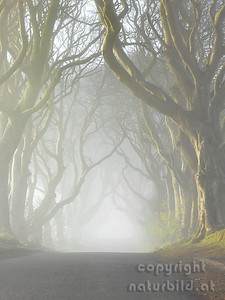 15-IR-02-05  - Dark Hedges im Morgennebel