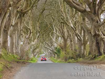 15-IR-01-04 - Dark Hedges - 2