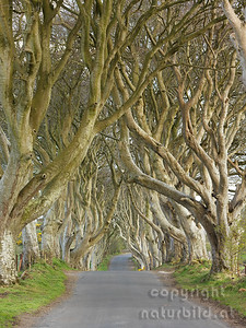 15-IR-01-11 - Dark Hedges - 4