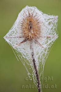 12-B03P - Karde mit Spinnennetz im Tau
