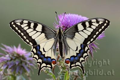 2009-23-01 - Schwalbenschwanz Schmetterling auf Distelblüte