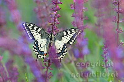 12-B27-07 - Schwalbenschwanz Schmetterling