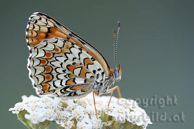 2009-28-08 - Schmetterling spez.