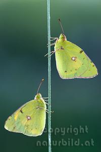 2009-28-06 - Goldene Acht Schmetterlinge