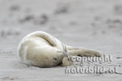 Halichoerus grypus   Jungtier im weißen Embryonalhaar (Lanugo).  Am Sandstrand der kleinen Insel. Düne - Helgoland - Schleswig-Holstein - Deutschland