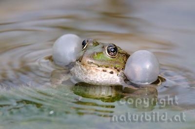 2009-14-04 - Rufender Wasserfrosch