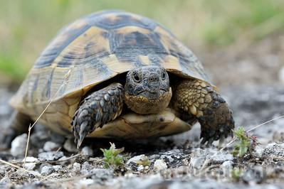 2009-33-05 - Maurische Landschildkröte