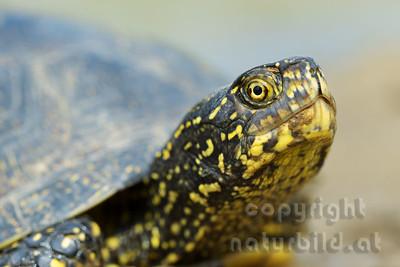 14-B12-136 - Europäische Sumpfschildkröte