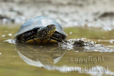 14-B12-133 - Europäische Sumpfschildkröte