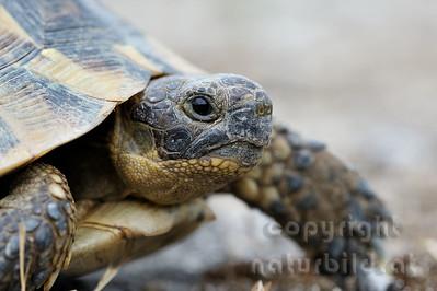 2009-33-06 - Maurische Landschildkröte