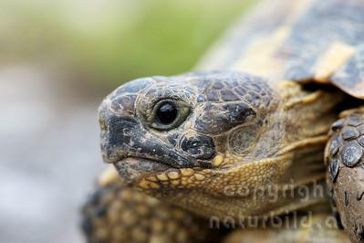 2009-33-01 - Maurische Landschildkröte Porträt